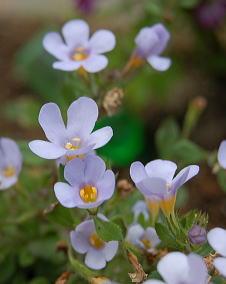 1月の花と花言葉 に対する画像結果