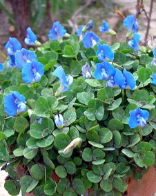 ブルークローバー(ブルーオキザリス)1 花 ブルークローバー/12月6日の花と花言葉 ブルークロ