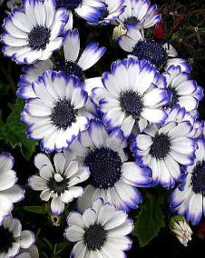 サイネリア(シネラリア)白と青の覆輪