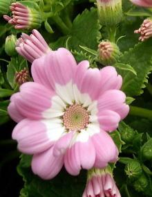 サイネリア(シネラリア)ピンクの八重